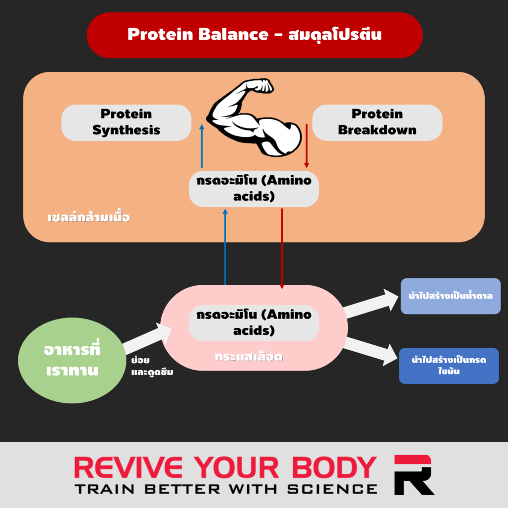 protein balance: protein synthesis vs protein breakdown
